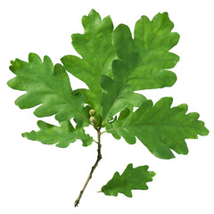 Twig with oak leaves on a white background