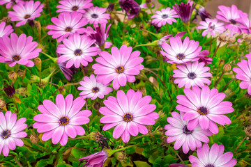 beautiful meadow of african daisies Dimorphoteca, Osteospermum  like background in park, close up