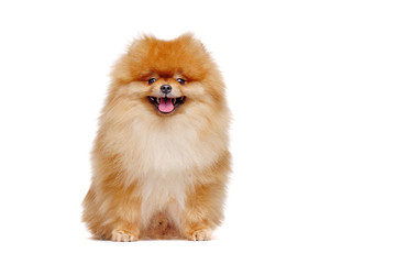 Pretty red pomeranian spitz isolated on white