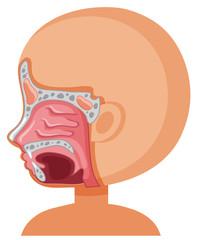 A Human Sinus System