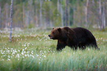 The brown bear (Ursus arctos) male walking in the forest. Female bear in the finnish taiga.Young bear with sunset in the background.