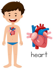 A young man heart anatomy