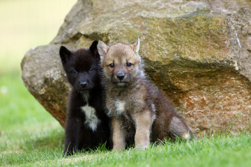The gray wolf (Canis lupus) also known as the timber wolf,western wolf or simply wolf. Young wolf puppy in green grass.Two puppies, gray and black, sit by the rocks