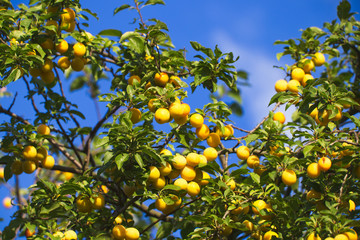 Yellow mirabelle plums