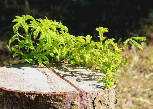 Neues Leben - Baumstumpf treibt neu aus