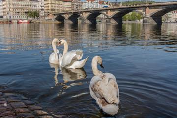 white swans on the Vltava river in Prague, Czech Republic