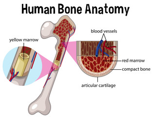 Human Bone Anatomy and Diagram