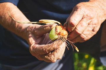 Senior farmer harvesting onions in organic garden