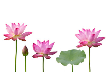 Pink Lotus And Leaf Isolated On White Background.