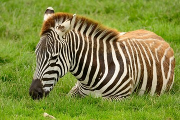 Zebra sitting on the grass