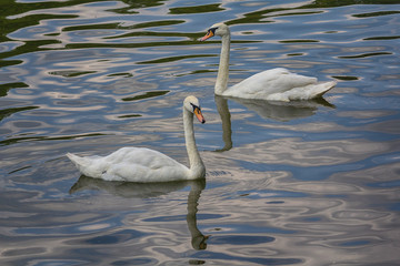Two beautiful white swans swim in the lake. Birds