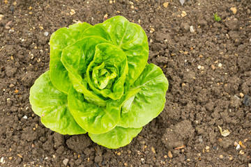 Round lettuce growing in soil - Variety is Vaila - Winter Gem