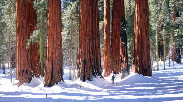 Strolling among the giants. Lone figure in Sequoia National Park