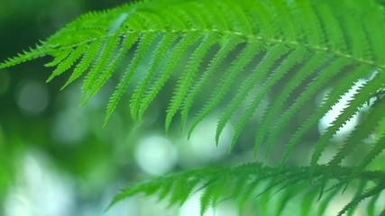 Fotoväggar - Fern growing in summer garden. Beautiful green fern leaves over blurred nature background outdoors. Gardening, landscaping design concept. Slow motion 4K UHD video 3840X2160