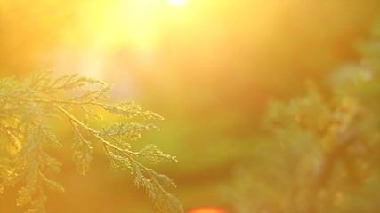 Fotoväggar - Thuja growing in summer garden. Thuja outdoors, conifer needles closeup. Slow motion. 3840X2160 4K UHD video footage