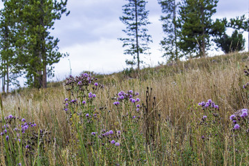 Beautiful Purple Wild Thistle Growing in a Meadow in the Colorado Rocky Mountains, USA