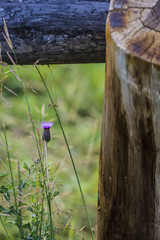 Small Purple Thistle Growing Next to a Log Rail Fence in a Meadow in Colorado, USA