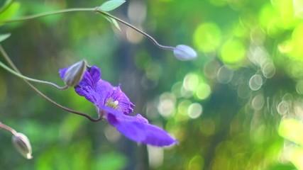 Fotoväggar - Blue Clematis flower blooming in summer garden. Clematis flowers growing outdoors. Slow motion. 3840X2160 4K UHD video footage