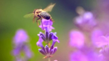 Fotoväggar - Honey bee working on blooming lavender flowers closeup. Honeybee macro shot. Slow motion 240 fps. 3840X2160 4K UHD video footage