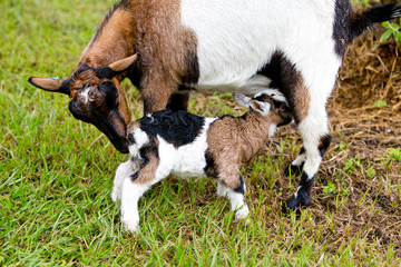 Brown and white baby kid goat and nursing doe in grassy paddock