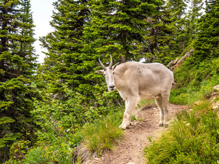 A female mountain goat (actually a member of the Antelope family) on the narrow Noisy Creek Notch Trail in the Jewell Basin in Montana is curious of the camera.