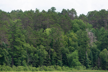 Forest in Minnessota