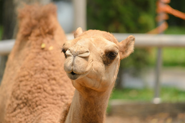 head shot of camel