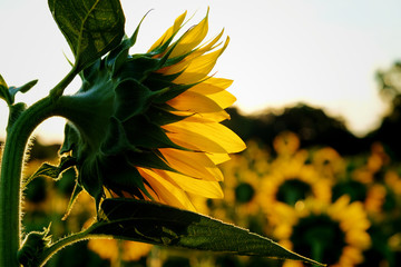 Close up of the back side of a sunflower in the early morning sunshine at Dorothea Dix Park in Raleigh North Carolina