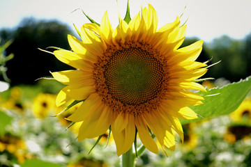 A straght on close up of a sunflower head in a field of sunflowers at Dorothea Dix Park in Raleigh North Carolina