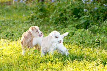 Two white and cream baby kid goats in grassy meadow