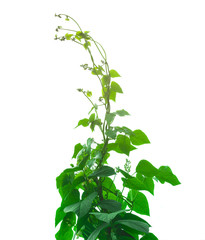 beans plant and leaf isolated on white background