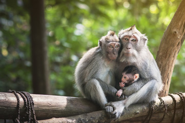 Foto op Aluminium Aap Family of monkeys with a little baby macaque near Tample in Monkey Forest, Ubud, Bali, Indonesia.