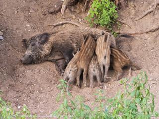 Wild boar feeding five piglets