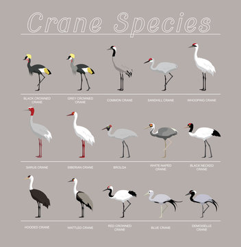 Bird Crane Species Set Cartoon Vector Illustration