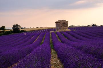 Garden Poster Lavender Champ de lavande en fleurs, coucher de soleil. Plateau de Valensole, Provence, France.