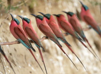 Southern Carmine Bee-eaters (Merops nubicoides), at the breeding wall, steep shore on the Luangwa river, South Luangwa National Park, Zambia, Africa