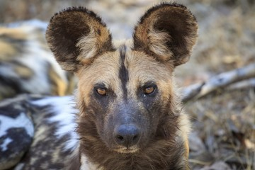 African wild dog (Lycaon pictus), portrait, South Luangwa National Park, Zambia, Africa