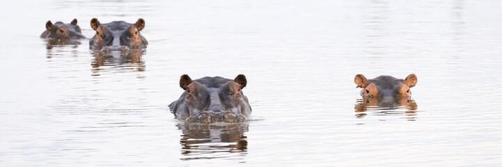 Hippos (Hippopotamus amphibius) in a water hole, Okavango Delta, Botswana, Africa