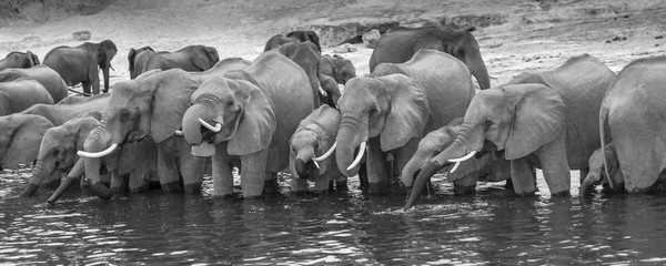 African Elephant (Loxodonta africana) standing in a row in the river drinking water, black and white, panoramic view, Chobe National Park, Chobe River, Botswana, Africa