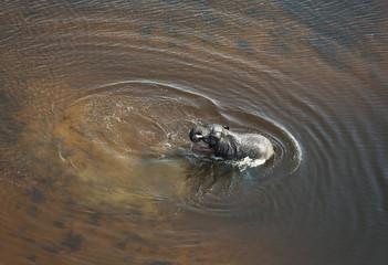 African Elephant (Loxodonta africana), bull in a stream, aerial view, Okavango Delta, Botswana, Africa