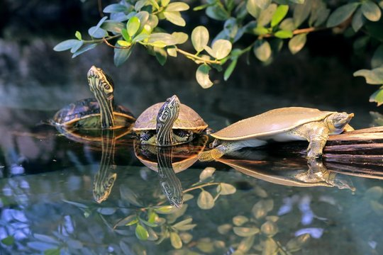 Spiny softshell turtle (Apalone spinifera) and red-eared slider or red-eared terrapin (Trachemys scripta elegans), adult, group, native to North America, captive, Germany, Europe