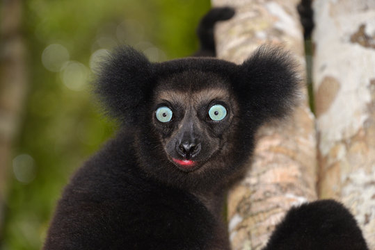 Indri (Indri indri), Manompana rainforests, Madagascar, Africa