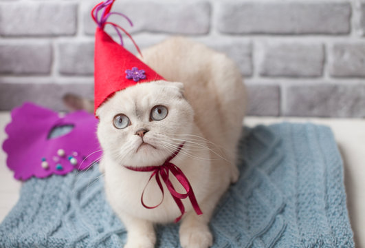 White Scottish cat celebrate his birthday. Cat with birthday hat