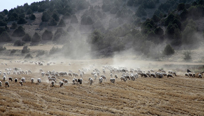 sheep grazing on the field