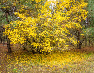 beautiful yellow tree, autumn  in the forest
