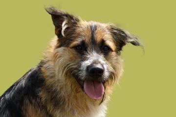 portrait d'un chien de berger attentif au regard vif sur fond de studio vert