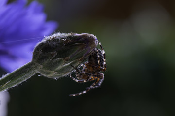 spide on the cornflower