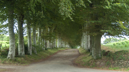 Avenue of beech trees in Brittany, France