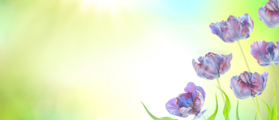Spring flowers banner  with purple tulips