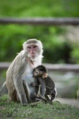 Closed up Mom hug with baby monkey, Thailand, family has a monkey mother and a cute monkey baby. Monkey is playing and staring.